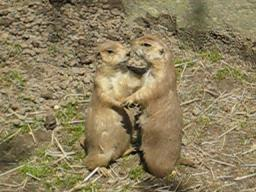 Kissing Prairie Dogs