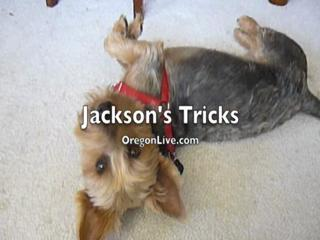Jackson's (1yr old Yorkie) Tricks