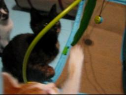 Fantastic Kitten Tabitha Needs a Home