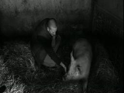 Locavore learns to slaughter and butcher his own pig