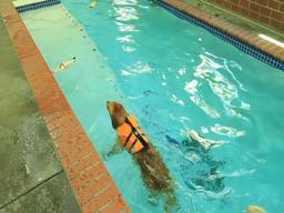 Swim therapy showing benefits for dogs, too