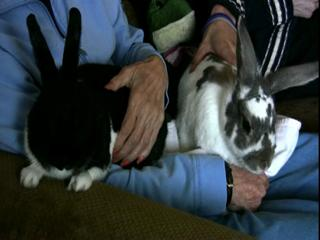Rabbits used in Delta Society pet therapy program