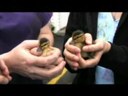 Baby ducklings rescued from storm drain
