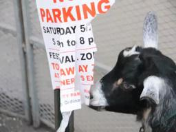 Goat chews up 'No Parking' sign at Jersey City festival