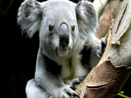 New koala at Cleveland Metroparks Zoo