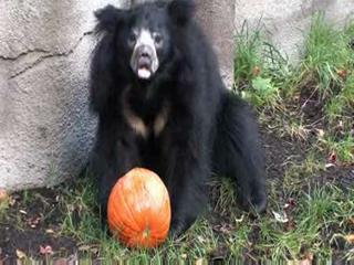 Halloween treats for the sloth bears at the zoo