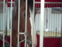 Visiting the Clydesdales at the Big E