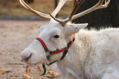 Reindeer arrive at the Staten Island Zoo