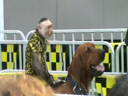 Monkey riding dog at Cuyahoga County Fair 2009