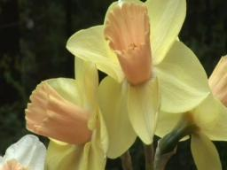 Daffodil FUN!