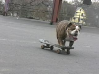 Skateboarding dog