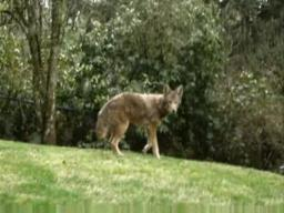 A backyard coyote