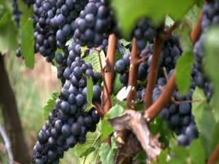 Grape harvest at J. Christopher Winery