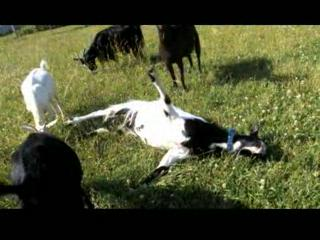 Myotonic Fainting Goats