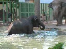 Rosamond Gifford Zoo's elephant pool party