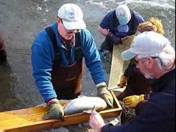 Rainbow trout get shocking treatment from DEC