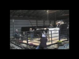Got $50,000? Cow sells for big bucks at auction