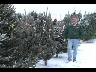 Christmas tree buyer's guide