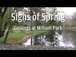 Signs of Spring: Goslings in Milham Park