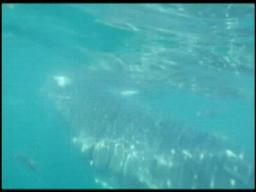 Swimming with a whale shark off the coast from Orange Beach