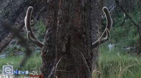 A Bull Elk With a Sense of Humor in Yellowstone National Park