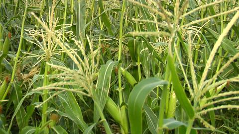 Corn Stalk Zoom