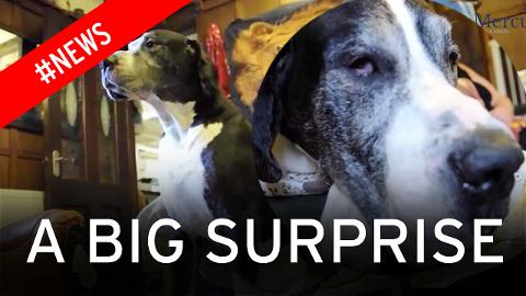 Wife tricks husband into thinking small puppy was a Jack Russell and now Bear is Britain's biggest dog!
