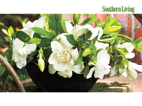 the complete guide to gardenias  southern living, Beautiful flower
