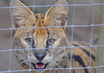Exotic Cats Rescued from NC Breeder B-Roll
