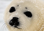 2012 Harp Seal Nursery Media B-Roll Footage