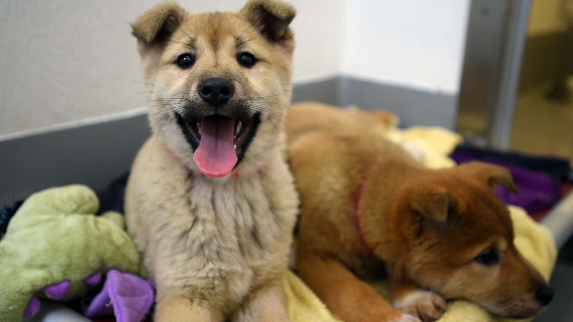 South Korea Rescue Dogs Come to the US - B-roll