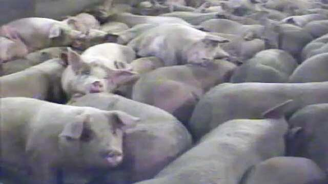 Iowa Pig Slaughterhouse