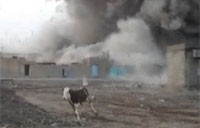 Bringing in the Cattle, Iraq Style