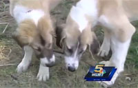 Sgt. Reunites with Afghan Pups