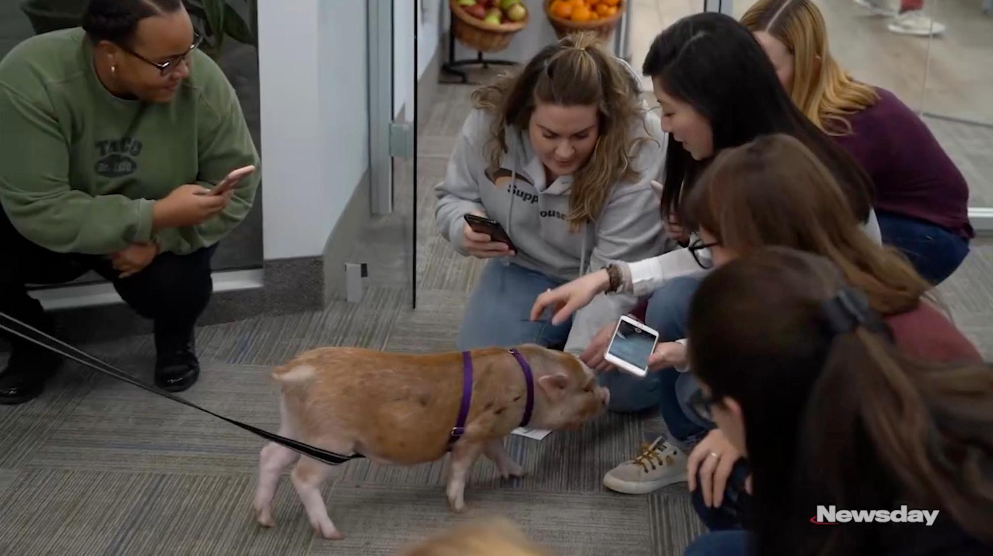 Truffles the Pig puts company's pet-friendly policies to test